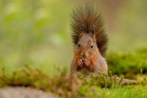 Écureuil, avec une belle queue