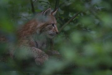 Eurasischer Luchs ( Lynx lynx ) Jungtier, ruht verborgen im Gebüsch, perfekte Tarnung, Europa.sittin von wunderbare Erde
