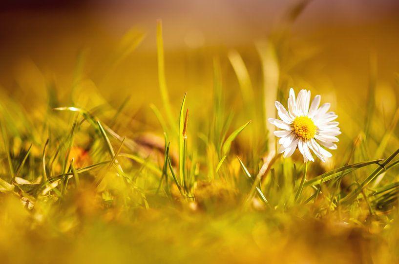 Gänseblume von Alena Holtz