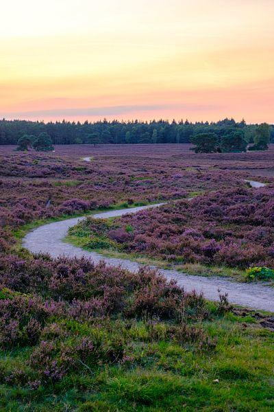 Bloeiende Heide in een heidelandschap landschap tijdens zonsondergang van Sjoerd van der Wal