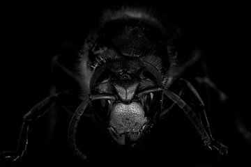 Hornet van Malte Pott
