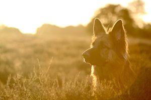Schäferhund  von Anita Moek