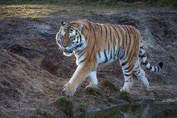 Tiger zu Fuß entlang der Uferpromenade im Gegenlicht von Joost Adriaanse