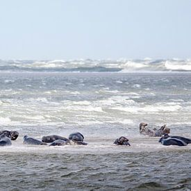 Zeehonden van Evert Jan Kip