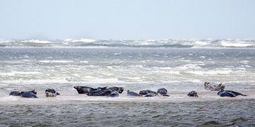 Zeehonden van
