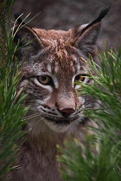 Le lynx du museau en gros plan parmi les branches de sapin, le chat regarde attentivement du regard  sur Michael Semenov
