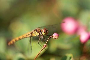 libellule sur symphorine
