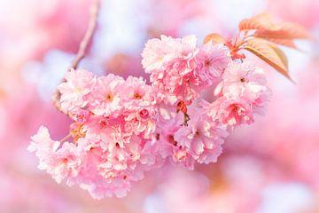 De kleur van de kersenbloesem van Daniela Beyer