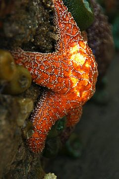 Etoile de mer orange et anémones de mer sur Jeroen van Deel