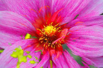 rosa , blühende  Dahlie,abstrakt,Blume von Torsten Krüger