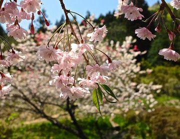'Sakura', Tsumago-Japan  van Martine Joanne