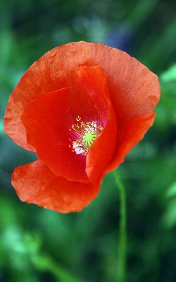 Mohnblüte van Rosi Lorz