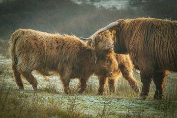 Schotse Hooglander in duin met twee kalfjes van Dirk van Egmond