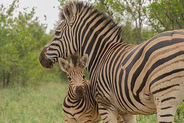 Zebra-Fohlen von Marijke Arends-Meiring