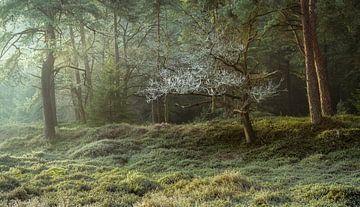 Lumière, gel et brouillard dans la forêt sur Peter Bolman