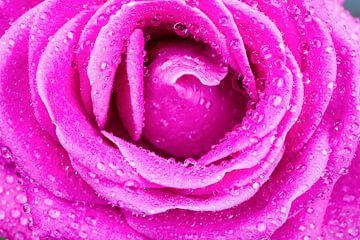 Makro-Bild von rosa Rose mit Wassertropfen sur Ben Schonewille