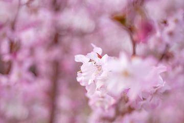 Kirschblüte von Vliner Flowers