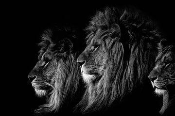 Der König der Löwen schwarzweiß von Ron van Zoomeren