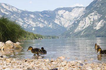 Baby-eendjes aan de rand van het meer van Bohinj van Steven Marinus