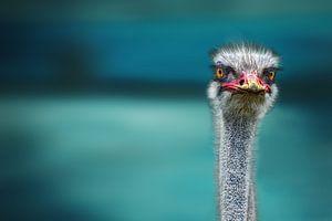 Struisvogel twee Poor Chicken beschermen tegen de wind, Piet Flour