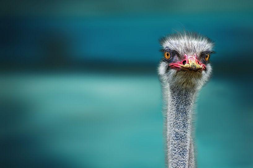 Struisvogel twee Poor Chicken beschermen tegen de wind, Piet Flour van 1x