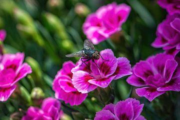 Eine Fliege. von Patrick Vercauteren