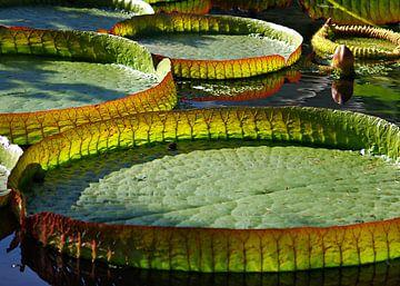 Riesen Seerosenblätter van