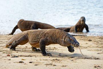 Komodovaranen op het strand