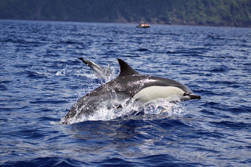 Gewone dolfijn van Dominique Vernooij