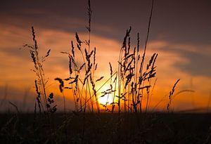 Le maïs avec le coucher du soleil