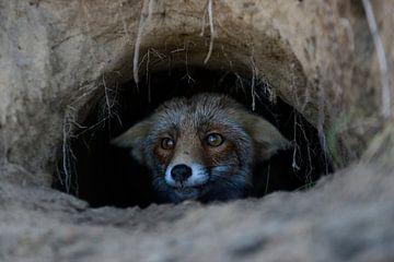 Fox watchng out of its fox's den... Red Fox *Vulpes vulpes* van