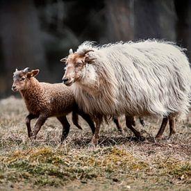 Mouton avec agneau dans la nature sur Steven Dijkshoorn