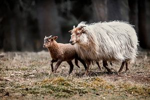 Schaf mit Lamm in der Natur