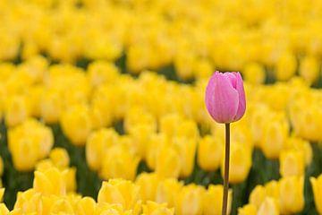 Roze tulp tussen gele tulpen van