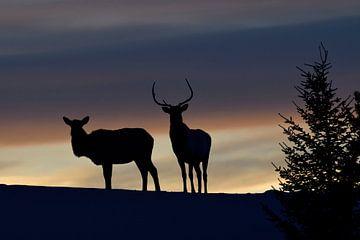 Good night... Elks in backlight silhouetted against nice evening sky van wunderbare Erde