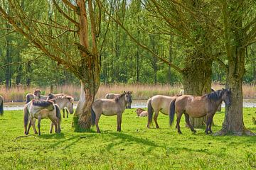 Konikpaarden in rust van Jenco van Zalk
