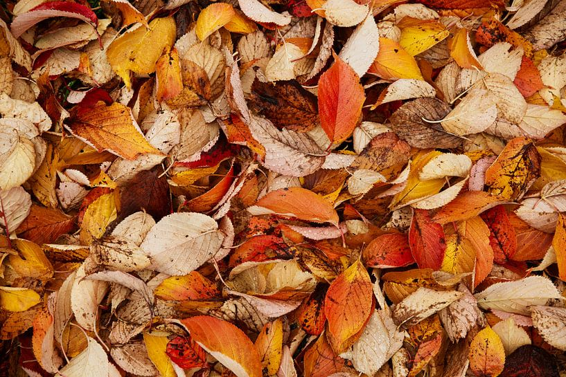 Beukenbladeren, warme herfst kleuren van Sran Vld Fotografie