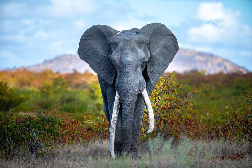 On top of the world - great tusker - olifant van Sharing Wildlife