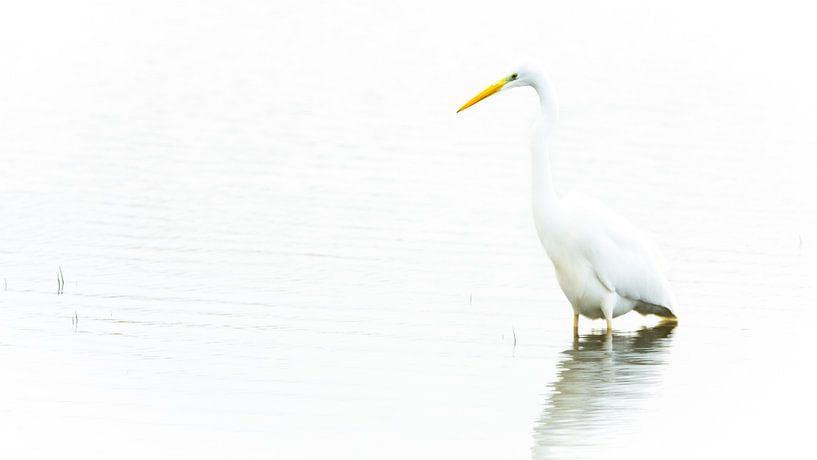 """Grote Zilverreiger in """"High key"""" van Wildfotografie NL"""