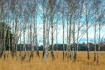 Die schönen, entgrünten Birken von Gerry van Roosmalen
