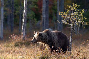 Bruine beer Finland van Han Peper
