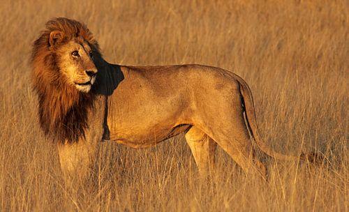 Lion in the morning light - Africa wildlife