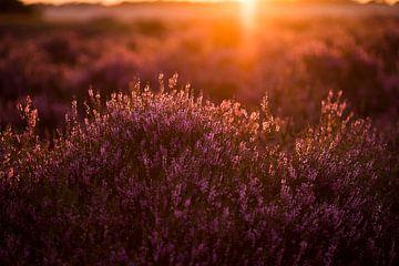 Abend auf der Heide von Ton van Buuren