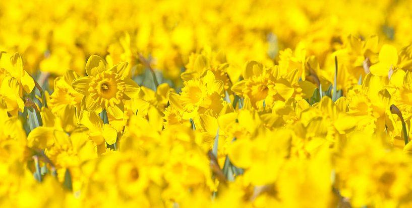 Narcissus van Dalex Photography