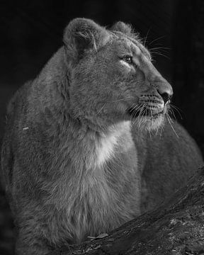 Asiatisches Löwenjunges in Schwarz-Weiß von Patrick van Bakkum