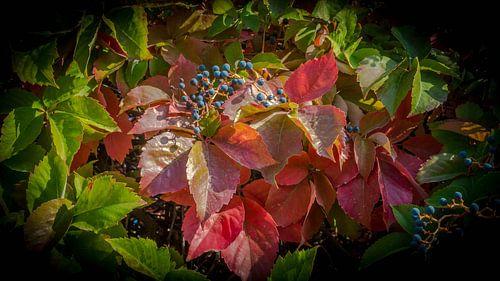 Wilde wingerd in herfst kleuren.