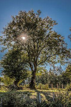De zon schijnt door een boom in het tegenlicht van