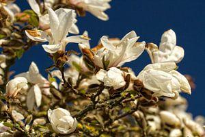 Witte magnolia van Holger Felix