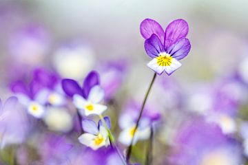 Dünen-Violett von Caroline van der Vecht