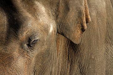 Aziatische olifant van
